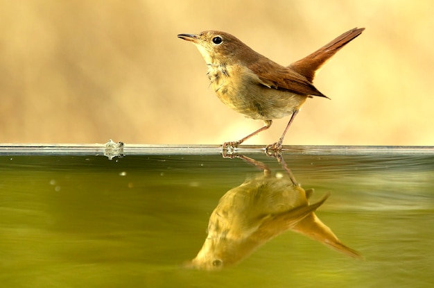 Pospolity słowik pije latem w punkcie wody, ptaki, ptaki śpiewające, luscinia megarhynchos