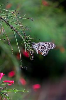 Pospolity wapno motyli obwieszenie dalej kwiat roślina w swój naturalnym siedlisku