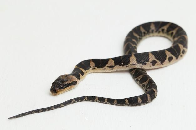 Pospolity wąż wodny lub opaskowany puff-face wąż wodny na białym tle