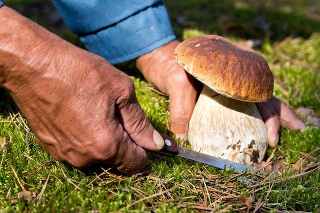 Poszukiwanie grzybów w lesie. zbieracz grzybów