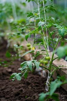 Potomstwa zielenieją pomidory w ogródzie
