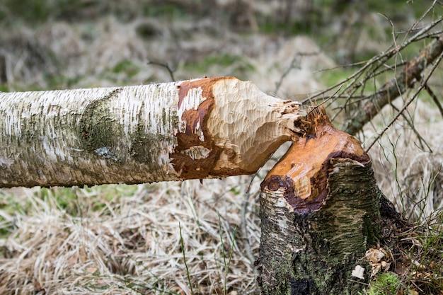 Powalone brzozowe drzewa w lesie obgryzane przez bobry