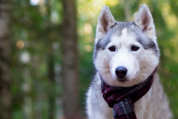Poważna, husky uśmiechnięta twarz. kanadyjski, północny pies. skopiuj miejsce
