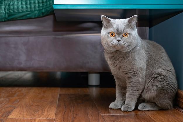 Poważne zbliżenie kota, siedzącego w domu w przytulnym miejscu. portret kota szkockiego zwisającego z pomarańczowymi oczami.
