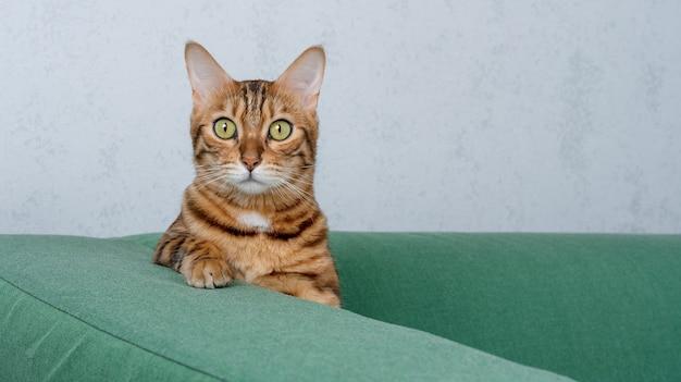 Poważny kot bengalski siedzi na miękkiej zielonej sofie w domu.