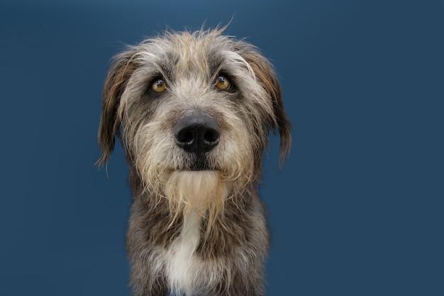 Poważny pies furry na niebieskim tle