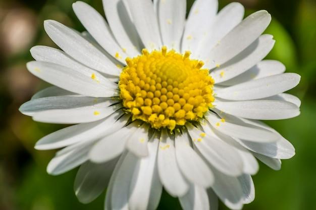 Powiększony fragment kwiatu stokrotki. eksplozja kolorów i detali pospolitego kwiatu włoskiego półwyspu.