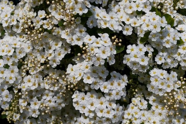 Powierzchnia kwiatu, białe małe kwiaty z żółtymi pręcikami z bliska