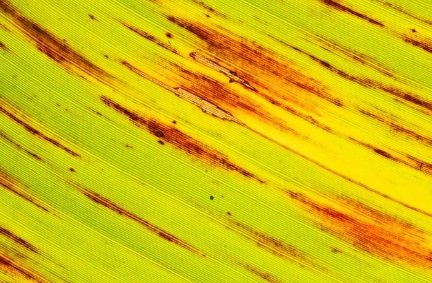Powierzchnia liści bananowca od świeżych do suchych.
