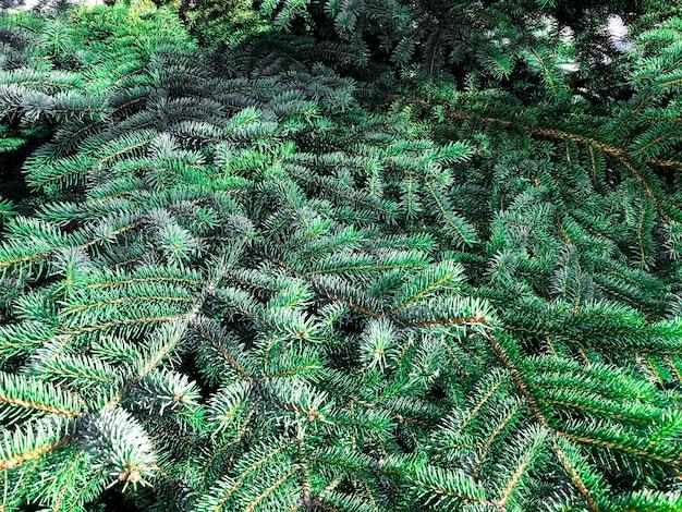 Powierzchnia, tekstura zielonych gałęzi drzew iglastych. zdjęcie