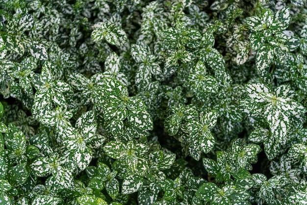 Powierzchnia tekstury zielone liście roślin ozdobnych.