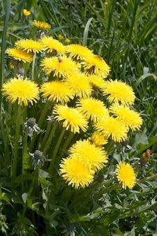 Powierzchnia trawy łąkowej z żółtymi kwiatami mniszka lekarskiego
