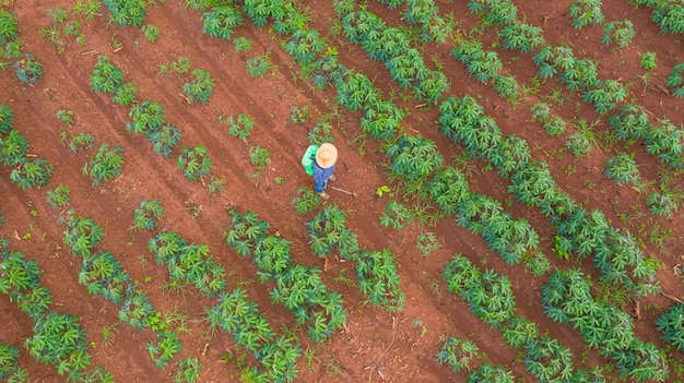 Powietrzny odgórny widok rolnicy pracuje przy uprawia ziemię maniok