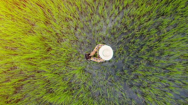 Powietrzny odgórny widok rolnik używa cyfrową pastylkę w zielonym ryżu polu, widok od above strzału trutniem