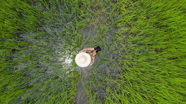 Powietrzny odgórny widok rolnik używa cyfrową pastylkę w zielonym ryżu polu