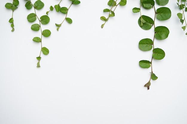 Powój korzeniowy na białym tle z liśćmi