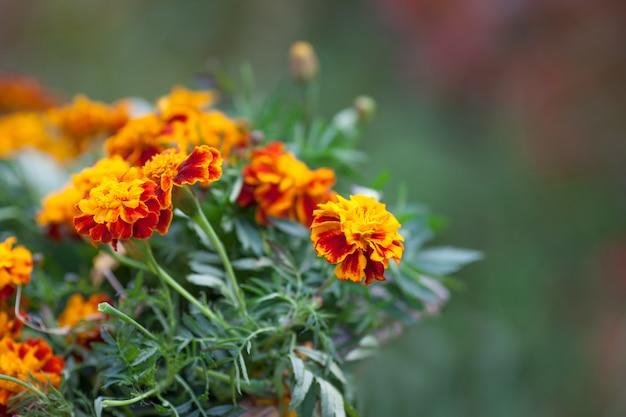 Powój pomarańczowy kwiat. jesienna dekoracja