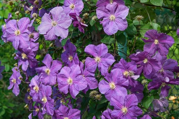 Powojnik z fioletowymi kwiatami w letnim ogrodzie.
