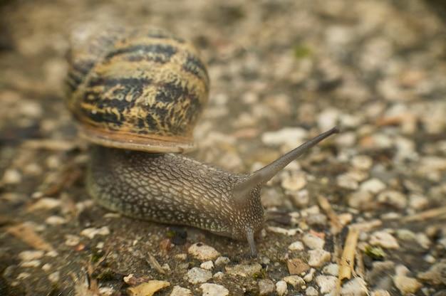 Powoli ślimak porusza się w kierunku pożywienia po asfalcie, który splądrował jego naturalne terytorium