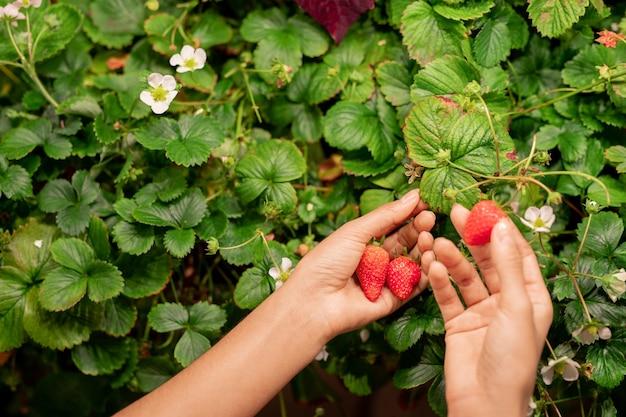 Powyżej widok nie do poznania kobiety zbierającej dojrzałe truskawki w ogrodzie