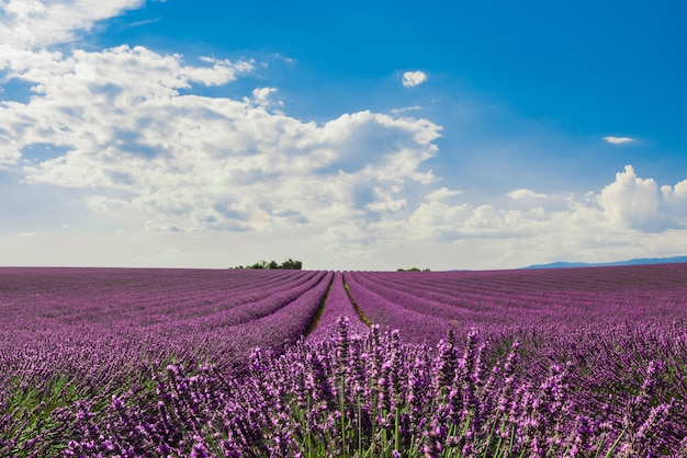 Poziome strzał pola pięknych fioletowych kwiatów lawendy angielskiej pod kolorowe pochmurne niebo