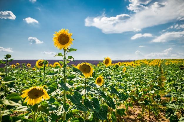 Poziome strzał pola słonecznika i lawendy angielski