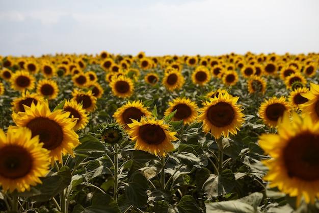 Poziome strzał pola uprawne z pięknymi żółtymi słonecznikami rosnącymi w okolicy. letni widok na zewnątrz upraw zasadzonych na polu w obszarze wiejskim. koncepcja rolnictwa, hodowli i zbioru