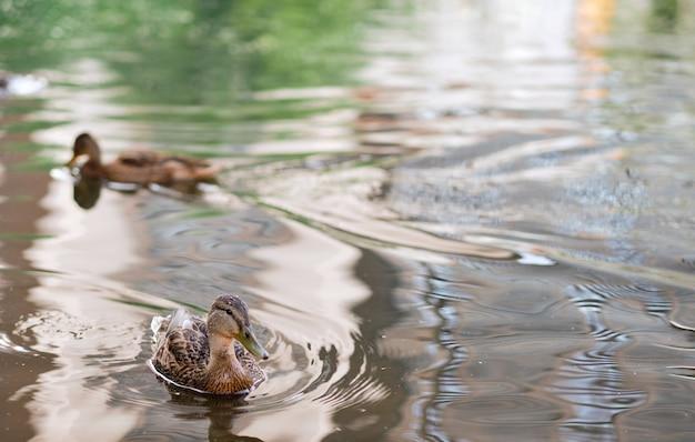 Poziome ujęcie cute kaczek pływających w jeziorze. dzikie kaczki w przyrodzie.