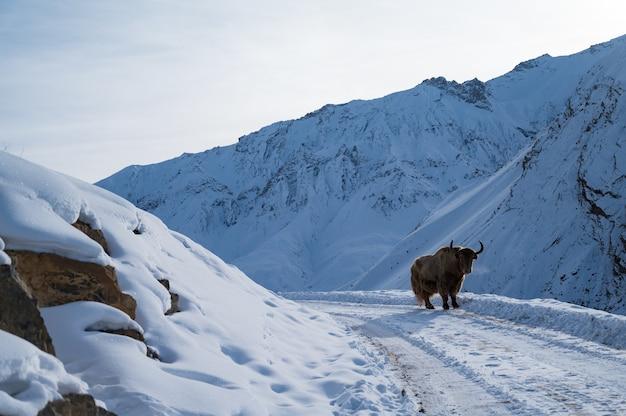 Poziome ujęcie dzikiego jaka w dolinie spiti zimą