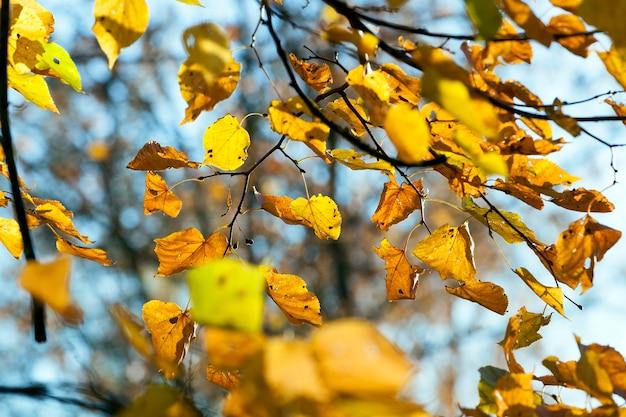 Pożółkłe i jasne światło słoneczne oświetlało liście lipy w sezonie jesiennym.