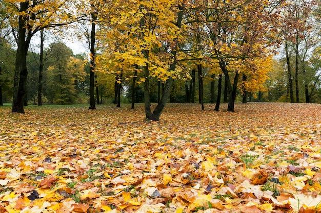 Pożółkłe liście drzew, w tym klonu, jesienią roku