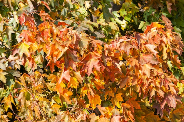 Pożółkłe liście klonu jesienią. podjęte zbliżenie z małą głębią ostrości.