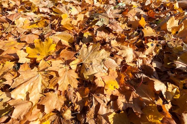 Pożółkłe liście klonu w sezonie jesiennym