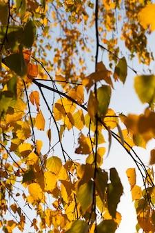Pożółkłe liście lipy w parku, zbliżenie, które zmieniło kolor liści, jesienne chłodzenie