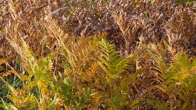 Pożółkły liść paproci na niewyraźne tło. suchy liść paproci w lesie. jesień tropikalny tło. babie lato