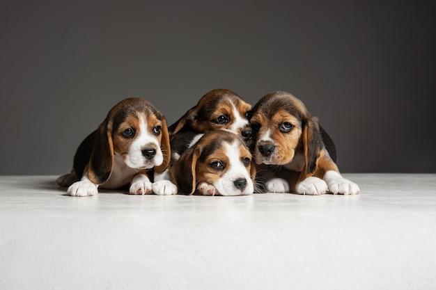 Pozują szczenięta beagle tricolor. śliczne biało-braun-czarne pieski lub zwierzaki bawiące się na szarej ścianie. wyglądaj na uważnego i zabawnego. pojęcie ruchu, ruchu, działania. negatywna przestrzeń.