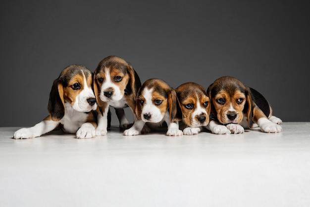 Pozują szczenięta beagle tricolor. śliczne biało-braun-czarne pieski lub zwierzaki bawiące się na szarym tle.