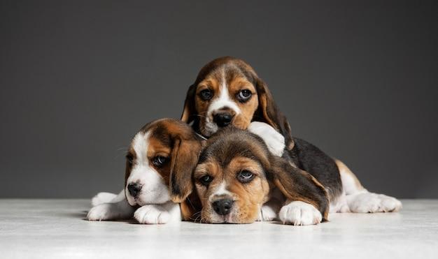 Pozują szczenięta beagle tricolor. śliczne biało-brązowo-czarne pieski lub zwierzaki bawiące się na szarej ścianie. wyglądaj uważnie i wesoło. pojęcie ruchu, ruchu, akcji. negatywna przestrzeń.