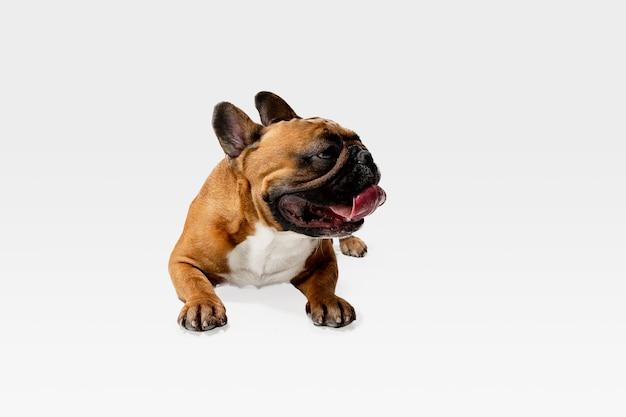 Pozuje młody buldog francuski. śliczny biało-braun piesek lub zwierzę bawi się i wygląda szczęśliwie na białym tle na białej ścianie. pojęcie ruchu, ruchu, akcji. negatywna przestrzeń.