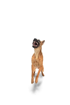 Pozuje młody owczarek belgijski malinois. ładny piesek lub zwierzę bawi się, działa i szuka szczęśliwy na białym tle.