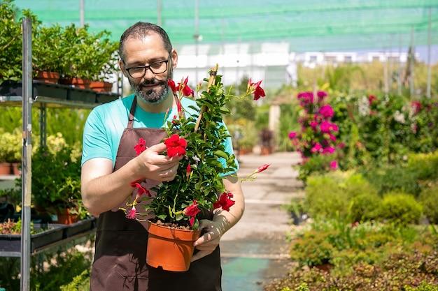 Pozytywna męska kwiaciarnia trzyma garnek z rośliną kwitnącą i chodzenie w szklarni. przedni widok. praca w ogrodzie lub koncepcja botaniki