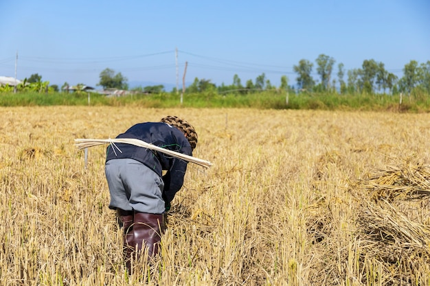 Praca rolnika. sadzonki ryżu są gotowe do sadzenia z miękkim skupieniem i światłem w tle