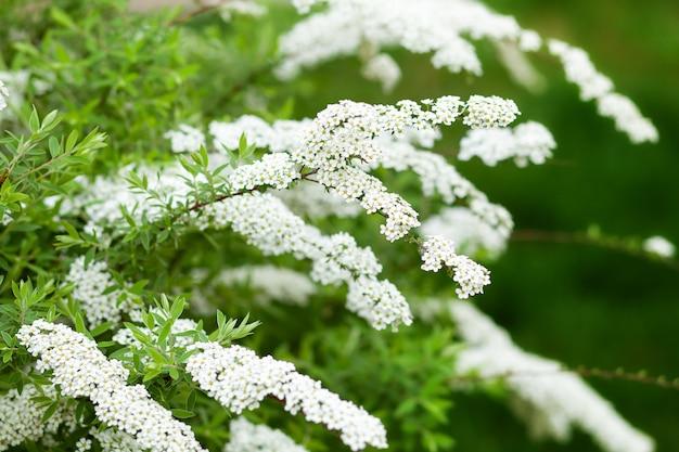 Prace ogrodowe. ogród przydomowy, klomb. zielone liście, krzewy. spirea wangutta. spiraea vanhouttei, krzew ozdobny z rodziny różowatych. krzak białych kwiatów na wiosnę. spiraea cinerea grefsheim na wiosnę
