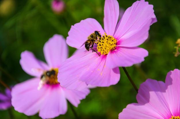 Pracowita pszczoła działa na kwiatek - zbiera pyłek