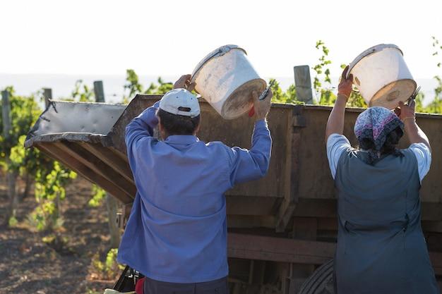 Pracownicy wlewają niebieskie winogrona na przyczepę w winnicy. zbiór jesienny.