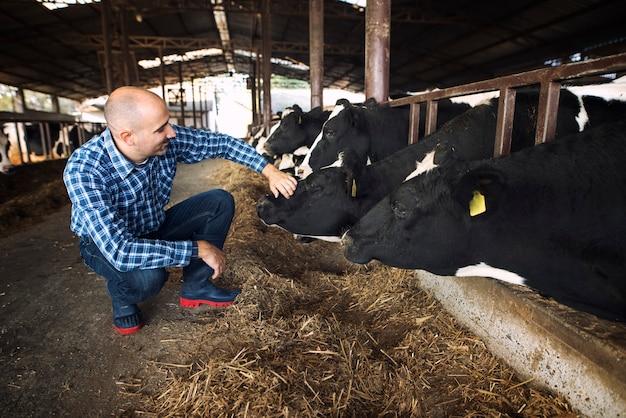 Pracownik farmy klepie krowę zwierząt gospodarskich