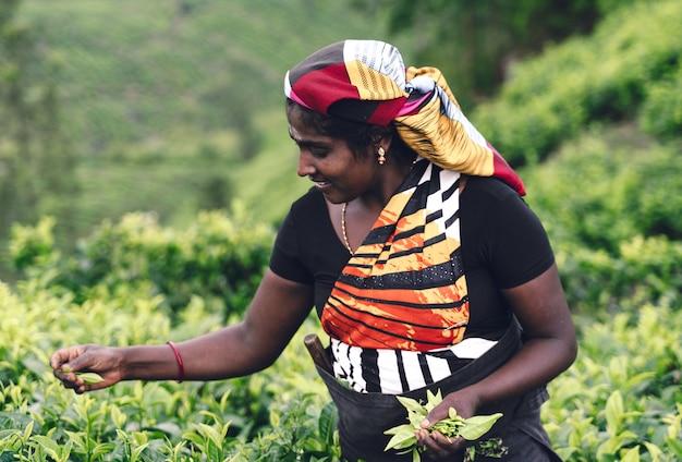 Pracownik herbaty zbieranie liści herbaty na plantacji