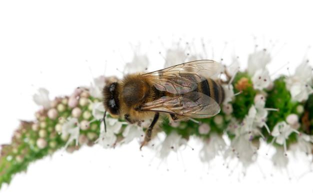 Pracownik pszczoła - anthophora plumipes, kobieta, odizolowywająca na bielu