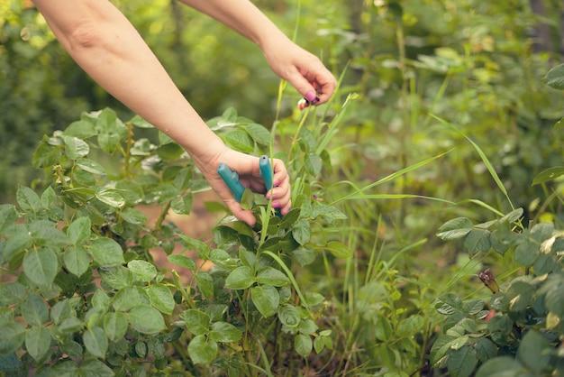 Pracownik szklarni wycina kwiaty nożyczkami