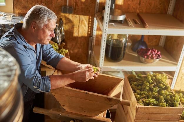 Pracownik winiarni eldelry sprawdza kiść białego grspes w dłoni przed włożeniem go do kruszarki